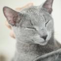 映画『猫は抱くもの』ロシアンブルーは沢尻エリカのもとで「グリグリ」と名付けられた