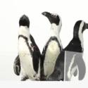 映画に登場するペンギンのモデルは「アデリーペンギン」だが、イベントに登場したのは「ケープペンギン」とのこと
